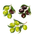 olive branches realistic set black green olives vector image