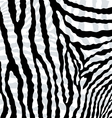 abstract skin texture of zebra hide pattern vector image vector image
