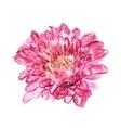 chrysanthemum pink vector image vector image