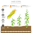maize corn beneficial features graphic template vector image vector image