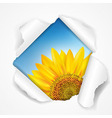 Sky And Sunflower Torn vector image vector image
