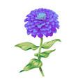 beautiful purple flower zinnia isolated on white vector image vector image