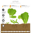 lettuce beneficial features graphic template vector image vector image