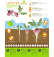 rutabaga beneficial features graphic template vector image vector image