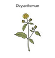 chrysanthemum indicum medicinal plant vector image vector image