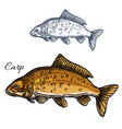 carp fish isolated sketch icon vector image vector image