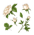 set of red rose flower bud and leaves isolated vector image vector image