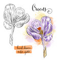 botanical art watercolor crocus flower vector image