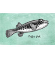 ink sketch fugu fish vector image vector image