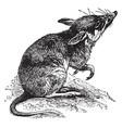 lesser bandicoot rat vintage vector image vector image