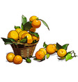 basket full of tangerines with leaves vector image