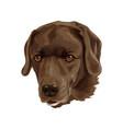 dog breed is brown labrador vector image