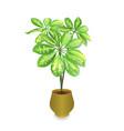 schefflera plant in pot schefflera arboricola vector image