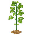 green pea on the plant vector image vector image