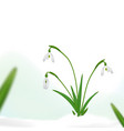 spring background with snowdrop flowers and green vector image