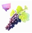 Grape hand drawn watercolor on a white background vector image vector image