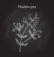meadow vetchling or pea lathyrus pratensis vector image vector image