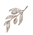 plant with fruits olive branch with leaves greek vector image