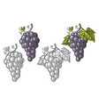 bunch grapes with berry and leaves vintage vector image