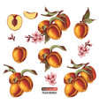 set hand drawn peach fruits branches flowers vector image vector image