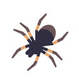 tarantula isolated on white background vector image vector image