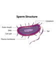 Sperm structure vector image
