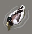beautiful duck on water vector image vector image