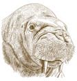 engraving of walrus head vector image vector image