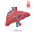 isolated human liver anatomy vector image vector image