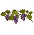 grape vine grape color hand drawn vector image