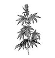 hand drawn hemp plant with cones cannabis branch vector image vector image