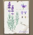 lavender botanical drawing vector image vector image