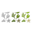 tea branch with leaves melissa jasmine vector image