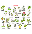 best laxative herbs vector image vector image