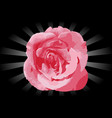 flower pink rose vector image