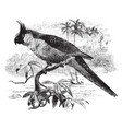uvaean parakeet vintage vector image vector image