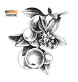 hand drawn mandarin branch vector image