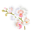 branch orchids white flowers phalaenopsis vector image vector image