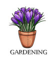 crocus in a pot vector image