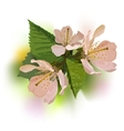 Branch of a blossoming apricot vector image vector image