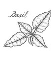 basil fresh herb leaves plant vector image vector image