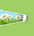 Green grass lawn with white chamomiles and ripped vector image