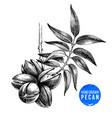 hand drawn pecan nuts vector image vector image