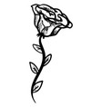 rose drawing on white background vector image